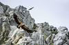 DEJAME VOLAR (anigma33) Tags: monfrague buitres saltodelgitano paisaje naturaleza pajaros cielo