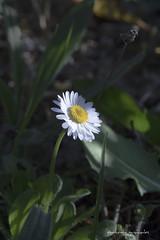 IMG_2018_04_26_02938 (gravalosantonio) Tags: flor margarita flowers enfoque macro primavera