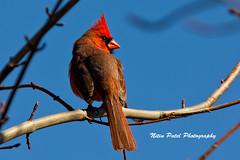 IMG_4803 (nitinpatel2) Tags: bird nature nitinpatel