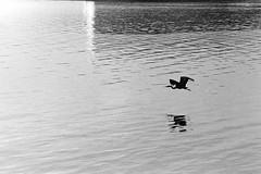 Flying Heron (bac1967) Tags: leicaiiia leica leicarangefinder kodaktrix trix kodakfilm kodak rodinal150 rodinal canon canonserenar 135film 35mmfilm 35mm 135 rangefindercamera rangefinder blackandwhitefilm blackandwhite blackwhite bw monotone monochrome panfilm panchromatic telephoto skagit skagitcounty pnw pacificnorthwest pugetsound swinomish swinomishindianreservation washingtonstate washington white black wa water swinomishchannel fidalgoisland fidalgo island heron flying flight inflight greatblueheron reflection waves grain filmgrain silhouette analog bird