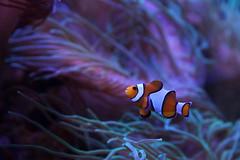Palhaço (dotcomdotbr) Tags: sony alpha a77 sal1650 aquário são paulo sp água mar peixe palhaço laranja