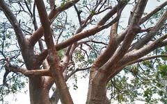 Gumbo Limbo tree, Everglades, Florida (lotosleo) Tags: hardwoodhammock florida fl tree gumbolimbo everglades evergladesnationalpark nationalpark landscape redflakybark forest tropical sunburnedtree burserasimaruba plant guybradleytrail flamingobeach outdoor crossamerica2018 homestead