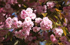Cherry tree (ekaterina alexander) Tags: cherry tree branch flower flowers blossom pink petals ekaterina alexander spring nature photography pictures england sussex