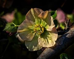 Winter Sun (MrBlueSky*) Tags: flower petal plant garden horticulture nature outdoor colour kewgardens royalbotanicgardens london pentax pentaxart pentaxlife pentaxk1 pentaxawards pentaxflickraward aficionados