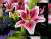 Picture of Lily (scorpion (13)) Tags: lilies flowers plant color creative photoart frame garden nature spring