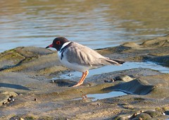 A Hooded Plover - off the shore of Skenes Creek, South Eastern  Victoria (PsJeremy - back and catching up...) Tags: hoodedplover endangered australia plover rare