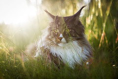 Summer Afternoon (Karolina Demczuk) Tags: cat maine coon mco fluffy longhair pet animal portrait black tabby eyes fun outdoors nature sunset light bokeh