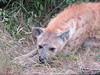 Hyena (Bruwer Burger.) Tags: hyena