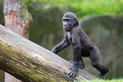 Ganz schön selbstbewußt! (Mel.Rick) Tags: zooduisburg säugetiere tier natur nature mammals westlicherflachlandgorilla gorilla muenda primaten menschenaffen