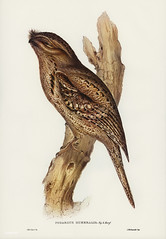 Podargus humerals, Vig&Horsf (Tawny-shouldered Podargus) Illustrated by Elizabeth Gould (1804–1841) for John Gould's (1804-1881) Birds of Australia (1972 Edition, 8 volumes). One of the most celebrated publications on Ornithology worldwide, Birds of Austr (Free Public Domain Illustrations by rawpixel) Tags: birdsofaustralia elizabethgould podargus podargushumerals tawnyshoulderedpodargus australia birds drawing frogmouth illustration name