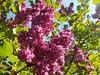 Flieder am Ulmenweg (eagle1effi) Tags: flieder ulmenweg tübingen duftend pink lila busch s7