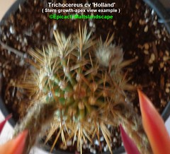 Tricho. cv 'Holland' ( Pic #3 stem growth-apex example ) (mattslandscape) Tags: holland trichocereus klaus kornely bloom blooms bloomingcactus bloompictures flower floweringcactus flowers flickrechinopsisbloomgroup kakteen cactus cactusblooms cacti cactusflowers cactiblooms plant red yellow