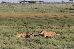Mum, decides to relocate dinner (Hector16) Tags: namiriplains eastafrica tanzania serengeti wildlife nature shinyangaregion tz lion cub pantheraleo gettyimages