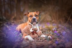 IMG_5830-1fb (Le-laa) Tags: teddy teddybear amstaff americanstaffordshireterrier dog dogphotography dogs dogportait cute canon6d canon flowers
