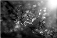 MAY 2018 NGM_7730_4372-1-233 (Nick and Karen Munroe) Tags: macroimage macro weather sunshiny focus bokehballs bokeh canada cherry cherryblossoms cherrytree cherryblossom blossoms bloom blooms blooming flowers flower flowering flowertown trees tree sunlight sunburst sun sunshine starburst spring karenandnick munroe karenmunroe karen landscape ontario outdoors brampton bramptonontario ontariocanada nikon nickandkaren nickandkarenmunroe karenick23 karenick karenandnickmunroe nature nick d750 nikond750 f28 nikonf28 nikon2470f28 2470 2470f28 munroedesigns photography munroephotoghrpahy nickmunroe munroedesignsphotography munroephotography munroenick landscapes beauty brilliant blackandwhite bw blackwhite bandw monochrome mono
