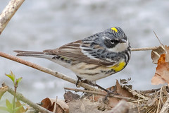 Yellow-rumped (Myrtle) Warbler (tresed47) Tags: 2018 201804apr 20180429kerrparkbirds april birds canon7d chestercounty content folder kerrpark pennsylvania peterscamera petersphotos places season spring takenby us warbler yellowrumpedwarbler