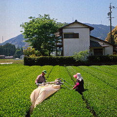 Ohara Tea Farmers (Tonx-) Tags: portra kodak japan film green tea harvest hasselblad