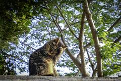 enoshima island cat. (higehiro) Tags: cat manekicat enoshimaisland japan kanagawa shonan