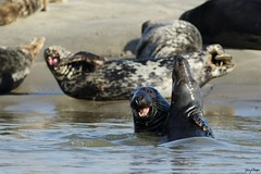 Vigoureuse accolade (yann.planque) Tags: animal animaux animals phoque phoques gris halichoerus grypus grey seal seals bay somme baie de picardie france bataille battle
