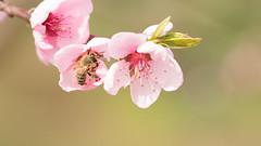 La vie en rose... (sonjalys) Tags: pêcher fleur abeille rose flower bee