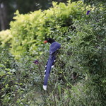 Formosan Blue Magpie thumbnail