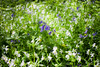 bluebells and white flowers (grahamdale74) Tags: bluebells 2018 alyssia caitlin chel