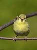 MAI_0067_chardonneret (robertgagnon) Tags: birds oiseaux chardonneret jaune