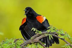Red-winged Blackbird (jt893x) Tags: 150600mm agelaiusphoeniceus bird blackbird d500 jt893x male nikon nikond500 redwingedblackbird sigma sigma150600mmf563dgoshsms thesunshinegroup coth sunrays5 coth5