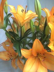 Azucenas mexicanas IMG_0413 (fernandodelatorre46) Tags: azucena ciudaddeméxico lilium liliaceae liliumcandidum