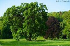 Großer Baum / Big Tree (R.O. - Fotografie) Tags: groser baum bäume big tree trees landscape nature natur landschaft outdoor grün green rofotografie panasonic lumix dmcfz1000 dmc fz1000 fz 1000
