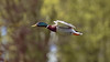 colorful rocket in flight (Franck Zumella) Tags: duck canard color couleur green blue red yellow vert jaune bleu rouge colorful coloré fast rapide flight fly flying vol voler volant oiseau bird nature animal