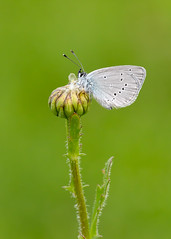 Small Blue (chaz jackson) Tags: smallblue cupidominimus lycaenidae butterfly blue insect macro lepidoptera small