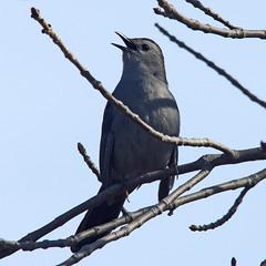 Sing Me a Song (jameskirchner15) Tags: bird catbird graycatbird dumetellacarolinensis singing avian michigan tawaspoint telephoto sigma pentax gray nature