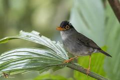 Black-headed Nightingale-Thrush (fernaabs) Tags: blackheaded nightingalethrush catharus mexicanus zorzal cabecinegro passeriformes turdidae aves fernaabs burgalin avesdecostarica