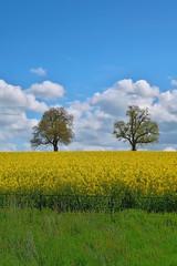 Two oaks (Badly Drawn Dad) Tags: gbr ludford ludlow shropshire unitedkingdom geo:lat=5236288097 geo:lon=271443307 geotagged grasses oilseedrape sky