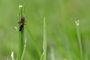 Guardian of the blade (mpalmer934) Tags: insect flying ant blade grass yard macro outdoors