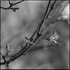 Apple tree (K.Pihl) Tags: bokeh sonnar150mmf40 nature flower blackwhite schwarzweiss film ilfordpanf5032 proxar1 hasselblad500cm rodinal1100 standdevelopment pellicolaanalogica bw tree analog monochrome