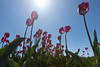 (CarolienCadoni..) Tags: sony ilca sonyilcaa99m2 tulips pov light sun sunlight drenthe westerbork