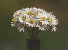 """I'm Half Crazy, Hopeful in Love with You"" (shawn~white) Tags: floral bouquet 100mm macro blossom bunch charm collection daisy flower fun idyllic nostalgia play playful reminisce romantic stacking texture vintage"