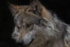 Mexican Grey Wolf (Cruzin Canines Photography) Tags: animal animals canon canoneos5ds canon5ds canine 5ds eos5ds nature naturallight closeup portrait mammal wolf wolves mexicangreywolf zoo cheyennemountainzoo wildlife wild wildanimal wildanimals ef500mmf4lisiiusm canonef500mmf4lisiiusm