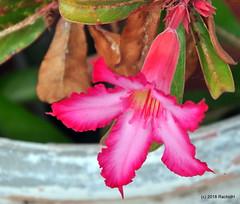 DSC_0395 (RachidH) Tags: flowers blossoms blooms desert rose desertrose adeniumobesum rosedudésert sabistar kudu azalea mockazalea impalalily lis lily lisdesimpalas carribean westindies antilles meadsbay anguilla rachidh nature