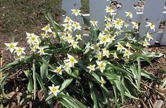 Enfin!...Les tulipes botaniques sont là... (Impatience_1(retour progressif)) Tags: tulipebotanique tulipahumilis tulipe tulip fleur flower printemps spring m impatience saveearth supershot coth coth5 fantasticnature alittlebeauty