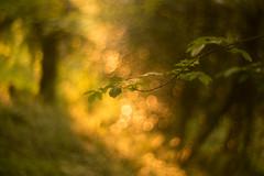 Bokeh Time (Glavind Strachan Photography) Tags: woodland bokeh bokehlicious trees dof pentacon legacylens okehampton devon landscape