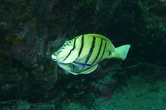 A convict comes clean (BarryFackler) Tags: sealife fish vertebrate scuba hawaii aquatic nature kona ocean saltwater marineecology dive tropical coralreef 2018 convicttang acanthurustriostegus convictsurgeonfish manini atriostegus tang surgeonfish cleaningstation cleanerwrasse hawaiiancleanerwrasse labroidesphthirophagus lphthirophagus honaunaubay island marine sealifecamera barryfackler underwater diver reef zoology animal fauna barronfackler marinebiology seacreature organism sea polynesia ecology coral konacoast hawaiiisland diving southkona marinelife water pacificocean seawater sandwichislands bigislanddiving ecosystem westhawaii undersea outdoor pacific marineecosystem bay creature bigisland hawaiidiving biology hawaiicounty honaunau life being wrasse gills operculum