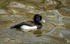 Tufted duck. (Alan Burkwood) Tags: rufford country park tuftedduck male aythyafuligula