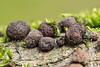 Kugelpilze (2) (dr.klaustrumm) Tags: kugelpilz holz moos wald pilz natur