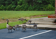 Geese By Some Steps. (dccradio) Tags: lumberton nc northcarolina robesoncounty outdoors outside nature natural rainyday pavement parking parkinglot grass lawn greenery yard ground bird fowl geese goose canadageese canadagoose gosling birds animal animals tree trees foliage woods forest wooded nikon d40 dslr concrete cement steps stairs line whiteline