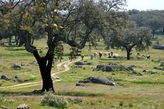 DSC02573 (imanh) Tags: landschap boom kurkeik koe imanh iman heijboer landscape tree cork oak cow