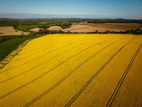 Rapeseed Fields Ireland