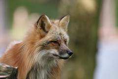 Renard roux (Jean.Schneider) Tags: renard roux fox sainte croix rhodes parc animalier moselle france wildlife canon 80d eos tamron 150 600 5 63 sp g2 a022